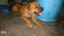 boxhead male boerboel for mating\stud service