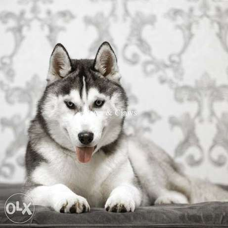Blue-eyed Husky boy for sale! Guarantee of psyche and health