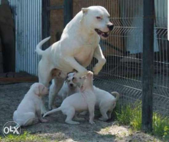 Imported Dogo argentino puppies with all documents