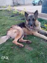 2 year old male longcoat gsd