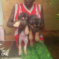 Quality Gsd puppies 4 sale