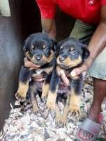 Fantastic Rottweiler puppies, both sex available for sale.