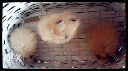 Teddy Bear Hamsters for sale
