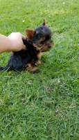 Gorgeous Short legs Pocket size Yorkie puppy available
