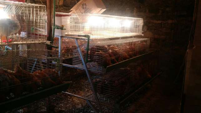 Chicks cages available at homestead farm Kasarani - image 5