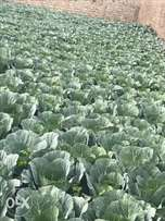 Cabbages on sale