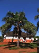 Large Palm tree for sale in the Richards bay / Emapangeni erea.