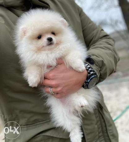 Super Quality Pomeranian Imported from Europe . Fastest Delivery