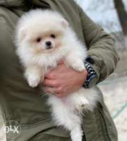 Super Quality Pomerinian Imported from Europe . Fastest Delivery