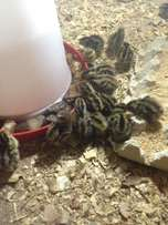 Day old and 2 weeks old quails for sale