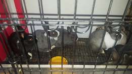 8 x Dwarf rabbits with cage