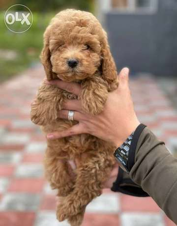 Our amazing Import Toy Poodle Male and Female Available Now in egypt