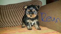 Miniature Pure bred Yorkshire terrier