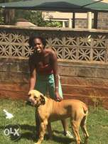 Pedigree Boerboel Puppies and Mother