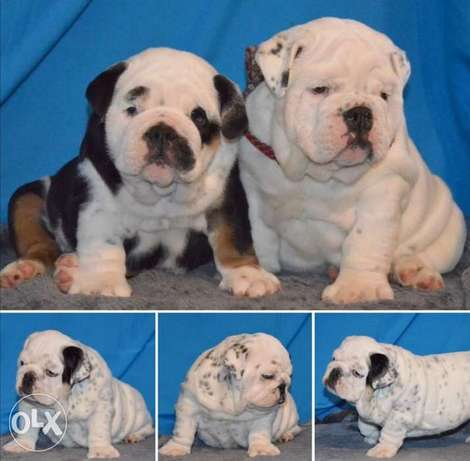 Get urself the best imported english bulldog puppy with Pedigree