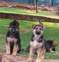 German Shepherd Puppies looking for a loving home