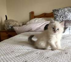 Stunning Seal Point Ragdoll Kitten for Sale