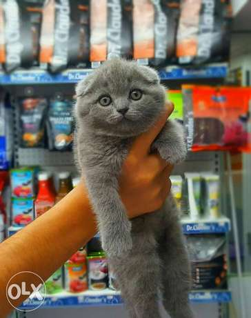Imported kittens Scottish fold all colours