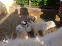 Japanese spitis puppy dog for sale