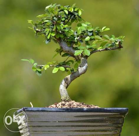 Carmona bonsai from Japan special price exclusive in lebanon