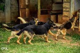 Pedigree Mature German Shepherd,leaving the country