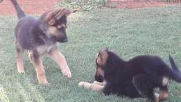 Purebred German Shepherd Pups For Sale
