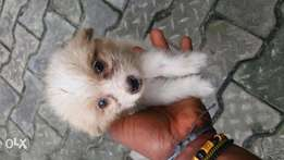 Cute puppies for sale