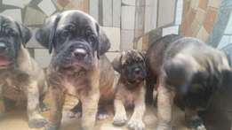 6 weeks old tough bone mastiff puppy