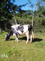 in calf cow for sale ksh 90,000