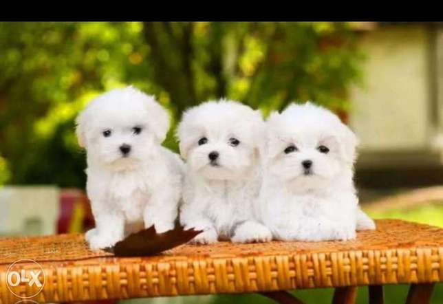 Reserve ur imported top quality mini maltese puppy with Pedigree