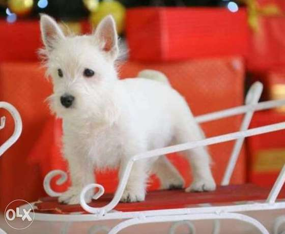 West highland puppies, with Pedigree