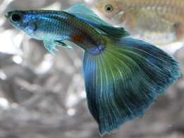 american guppy The royal pets