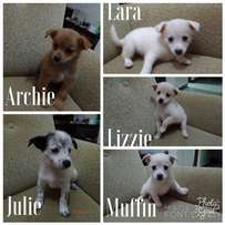 Japanese Spitz pups on sale.