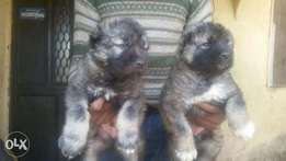 Cocancia puppies available