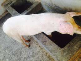 GOOD BREEDS for sell like Landrace, Large White, Camborough and Duroc