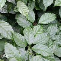 Marugbo leaves available