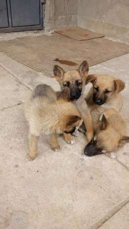Mixed Breed German Shepherd Puppies Athi River Township - image 8