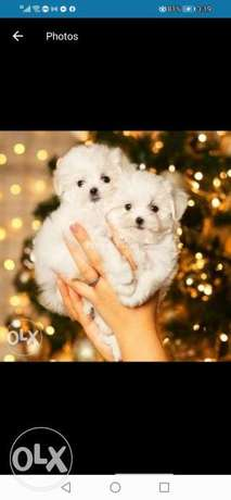Cutest mini maltese puppies from best kennels in Europe, high quality