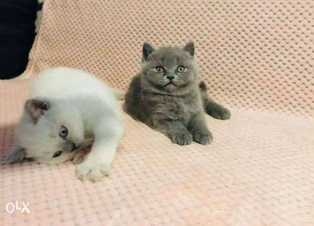 Beautiful British short hair Kittens for adoption and sale