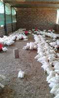 Live broiler chickens` for sale.