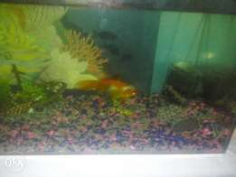 large goldfish and aqaruim 4 sale