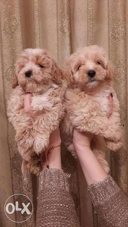 Imported multipoo puppies from best kennels in Europe