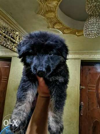 German puppies, male and female, imported, 45 days