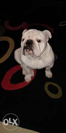 NOT FOR SALE! Male English Bulldog for mating الجونة -  3