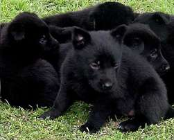 Belgian Shepard Puppies for sale