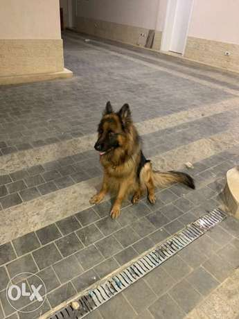 German Shepherd for mating only