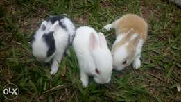 Rabbits on sell at 80k per pair with free delivery in kmpl n outskirts