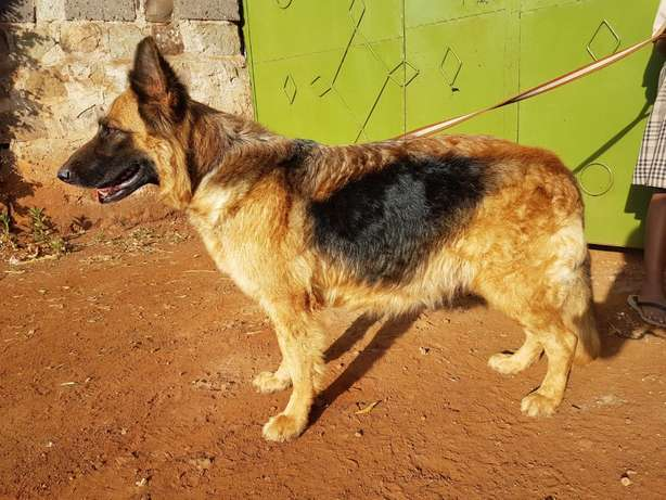 Long coat GSDs AND Labrador Retriever Kamiti - image 4