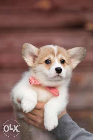 Reserve ur imported corgi puppy with Pedigree