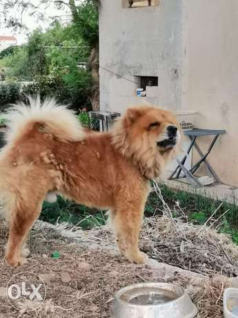 Imported ChowChow